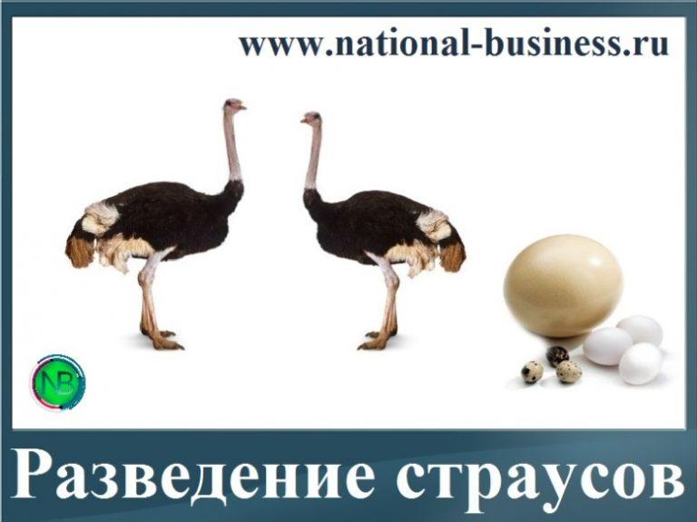 заработок на разведении страусов